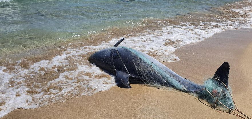 Marina di Priolo, trovato un delfino morto sulla spiaggia